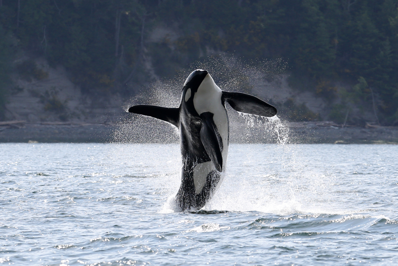 Doublestuf, Southern Resident orca J-34, was found dead north of Vancouver On December 19, 2015. Scientists believe it was likely due to malnutrition.